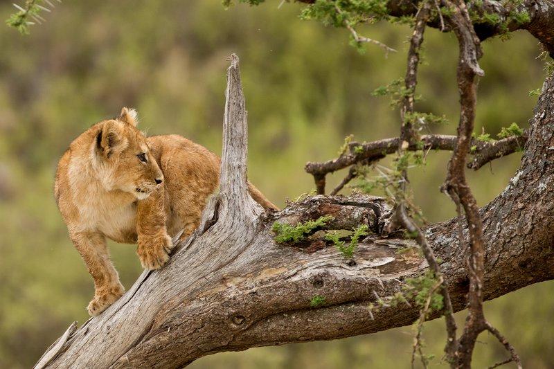 large_Lions_of_M.._Kopjes_528.jpg