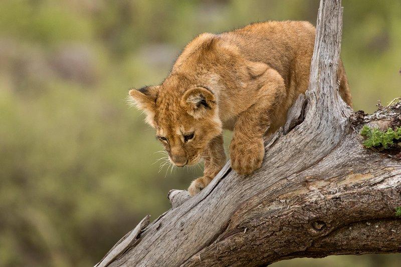 large_Lions_of_M.._Kopjes_540.jpg