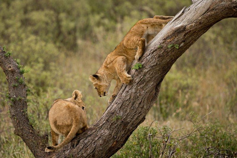 large_Lions_of_M.._Kopjes_544.jpg