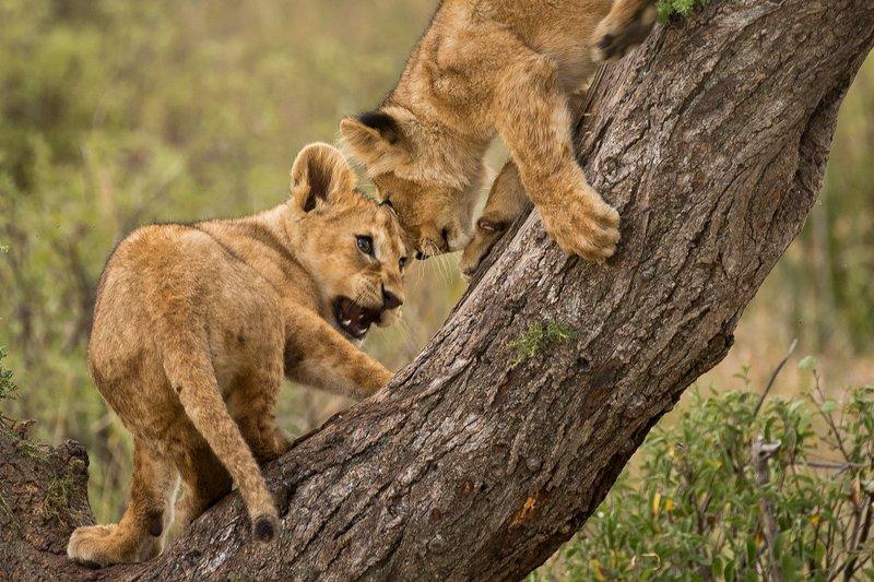 large_Lions_of_M.._Kopjes_545.jpg