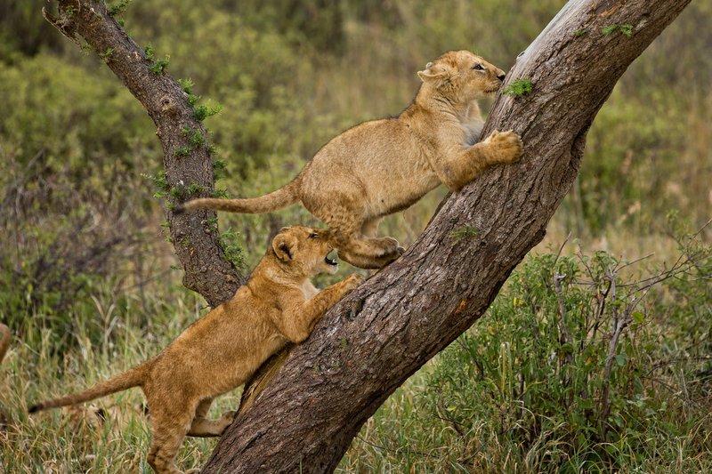 large_Lions_of_M.._Kopjes_571.jpg