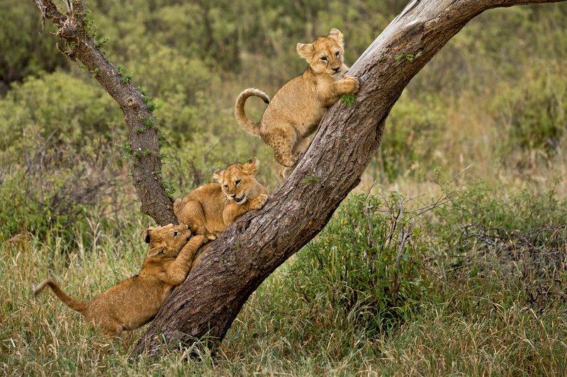 large_Lions_of_M.._Kopjes_577.jpg