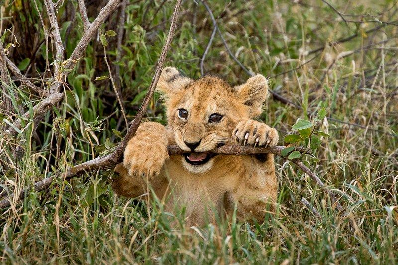large_Lions_of_M.._Kopjes_590.jpg