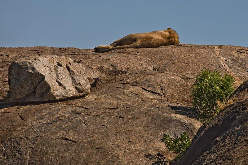 large_Lions_of_t..sai_Pride_1.jpg