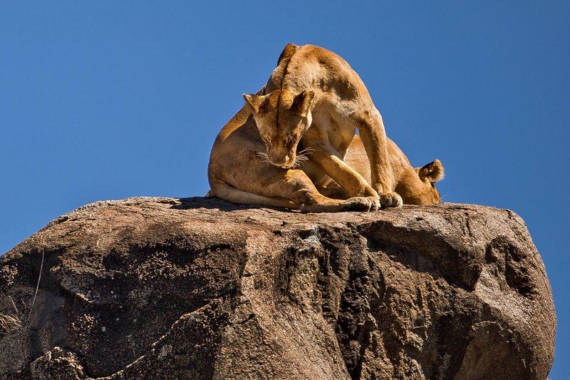 large_Lions_of_t..sai_Pride_4.jpg