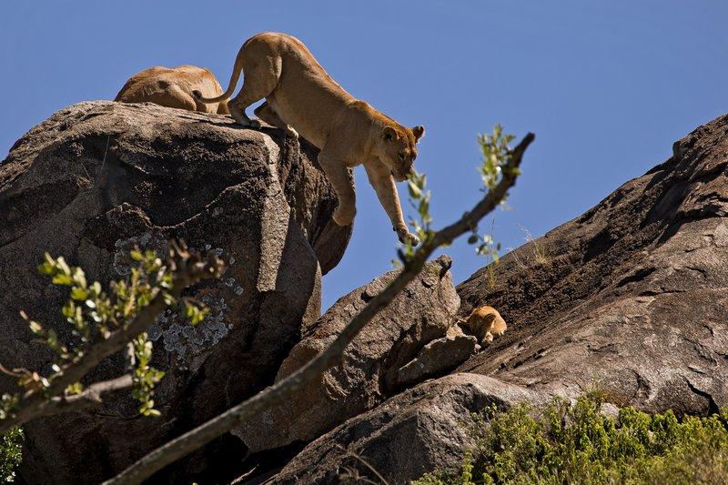 large_Lions_of_t..sai_Pride_6.jpg