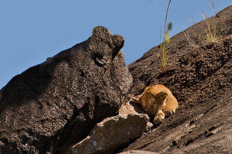 large_Lions_of_t..sai_Pride_7.jpg
