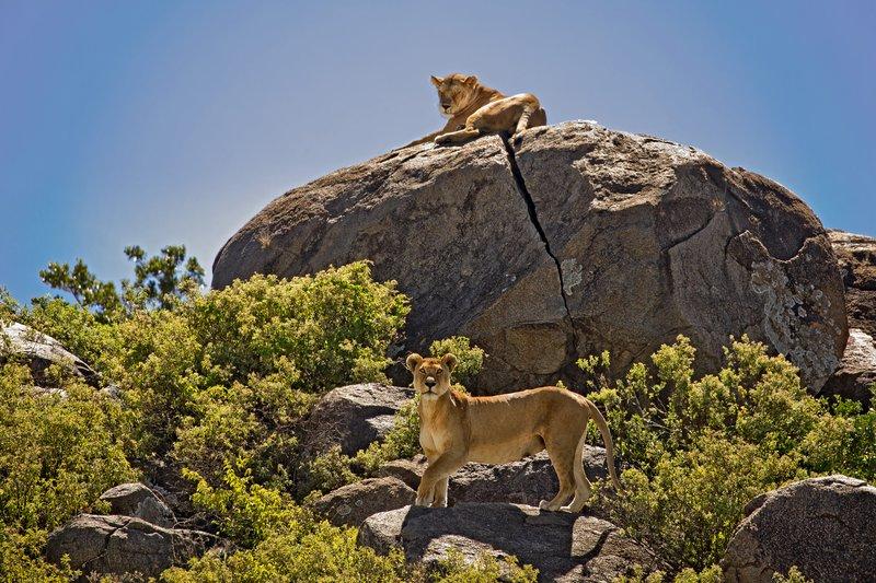 large_Lions_of_t..sai_Pride_8.jpg