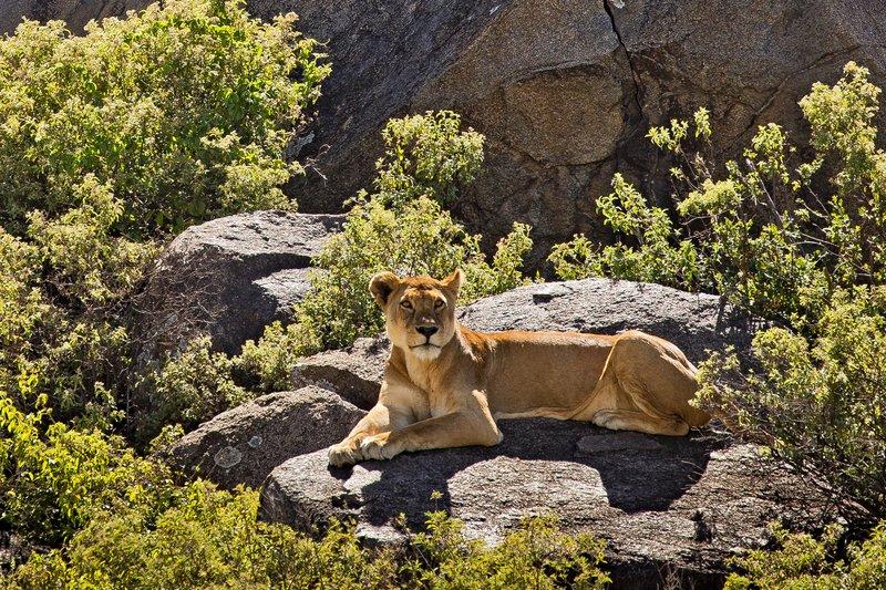 large_Lions_of_t..sai_Pride_9.jpg