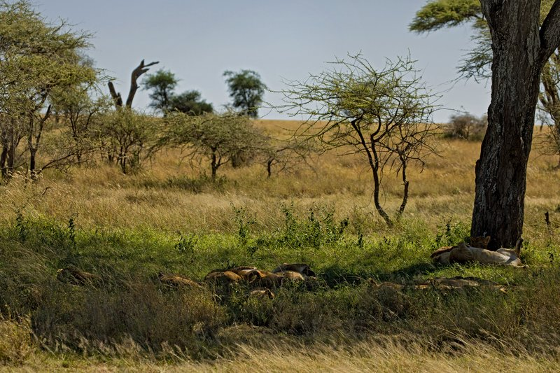 large_Lions_under_a_tree_1.jpg