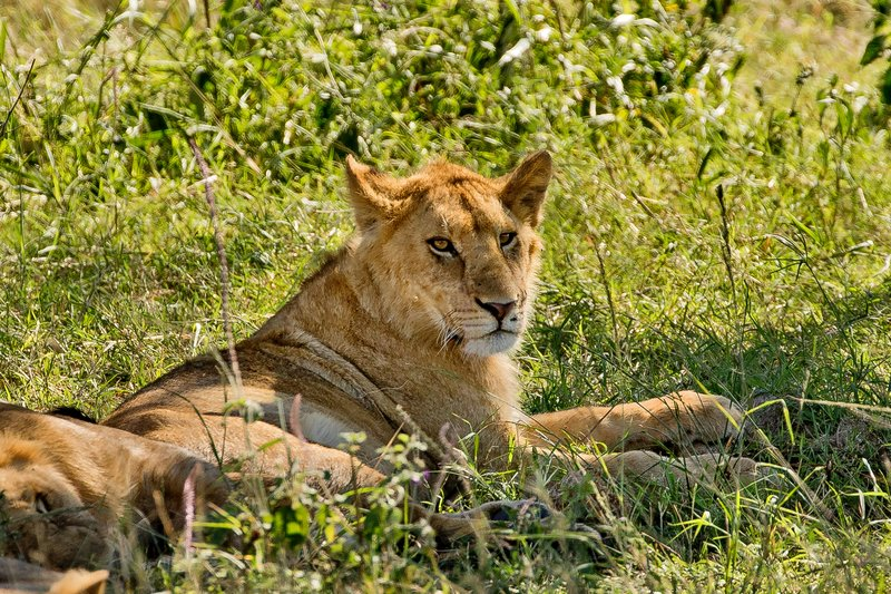 large_Lions_under_a_tree_4.jpg