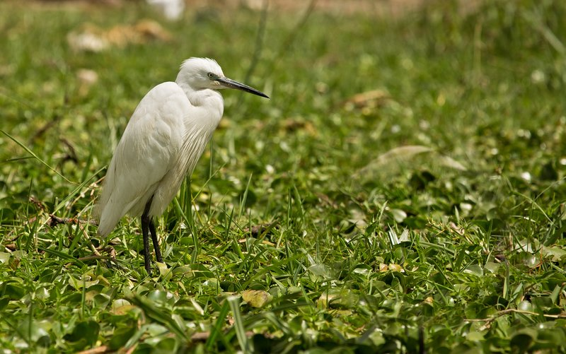 large_Little_Egret_32.jpg