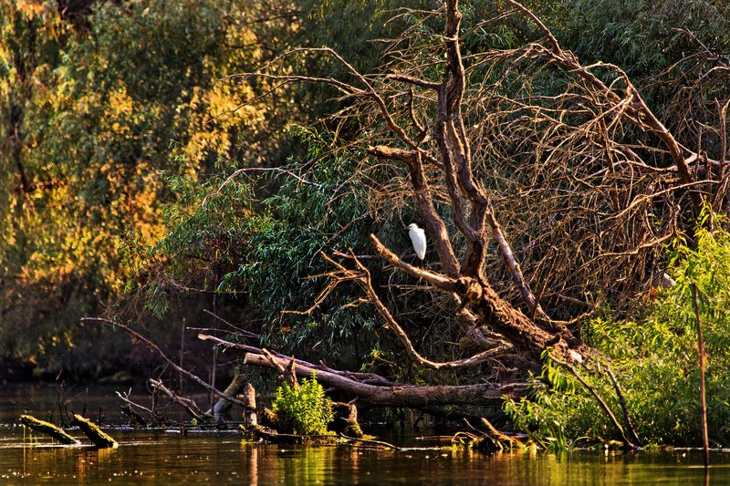 large_Little_Egret_5A.jpg
