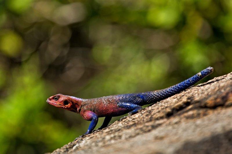 large_Lizard__Fl.._Agama_10-3.jpg