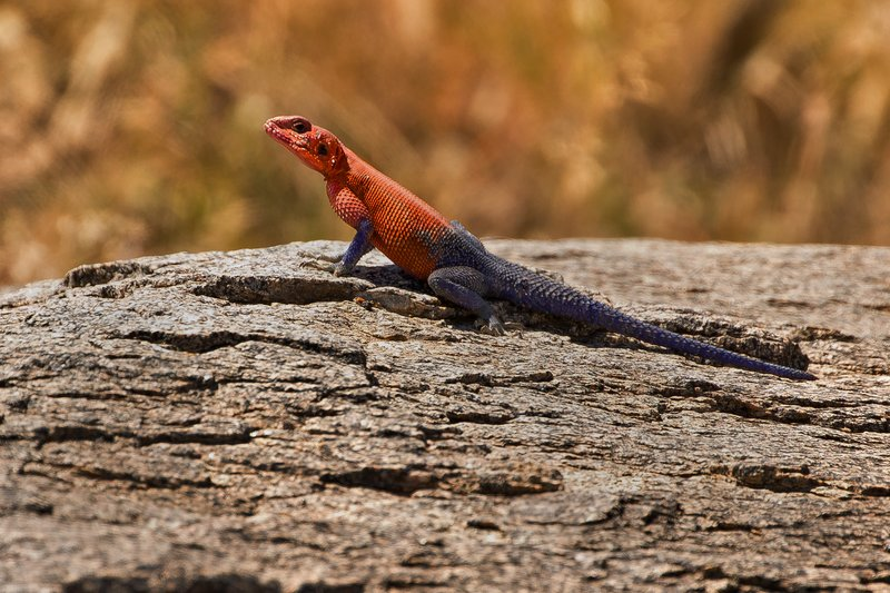 large_Lizard__Re.._Rock_Agama.jpg