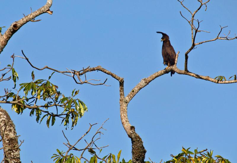 large_Long_Crested_Eagle_1.jpg