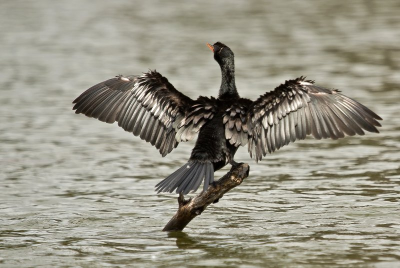 large_Long_Tailed_Cormorant_32.jpg