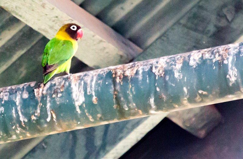 large_Lovebirds__Fischer_s_5-1.jpg