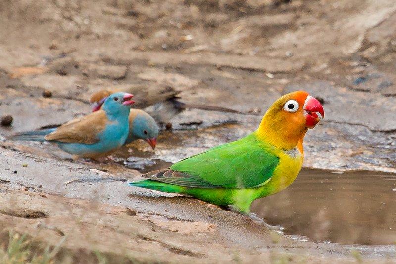 large_Lovebirds__Fischer_s_8-23.jpg