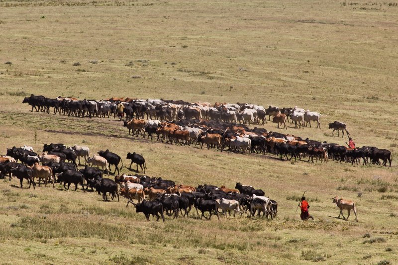 large_Malanja_De..ai_Cattle_7.jpg