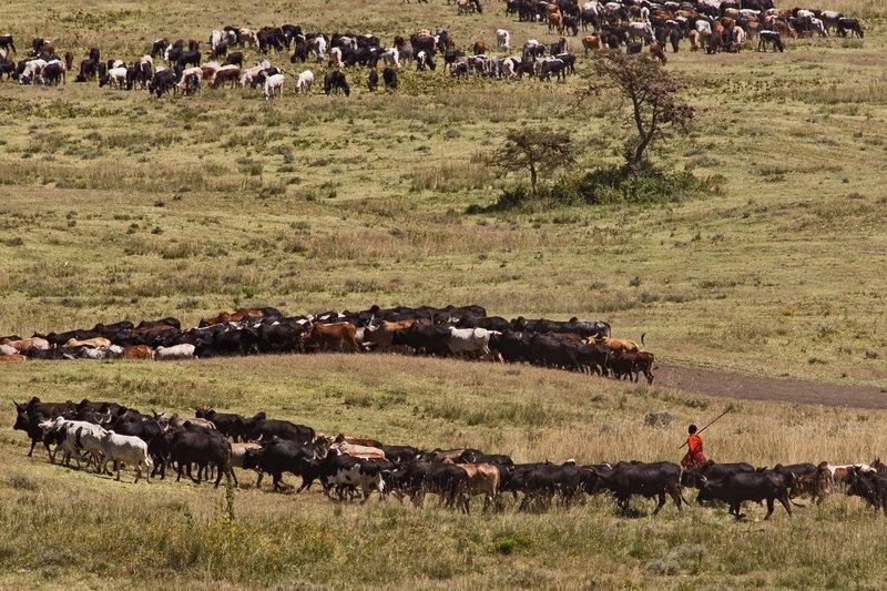 large_Malanja_De..ai_cattle_1.jpg