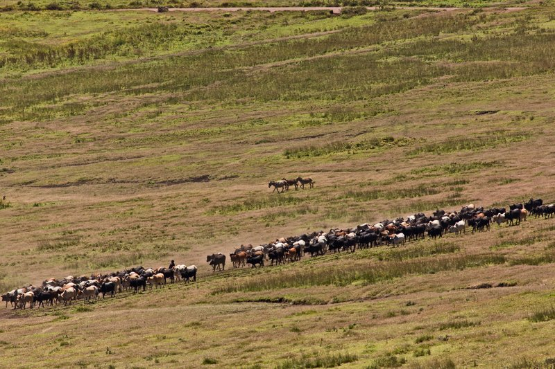 large_Malanja_De..i_Cattle_11.jpg