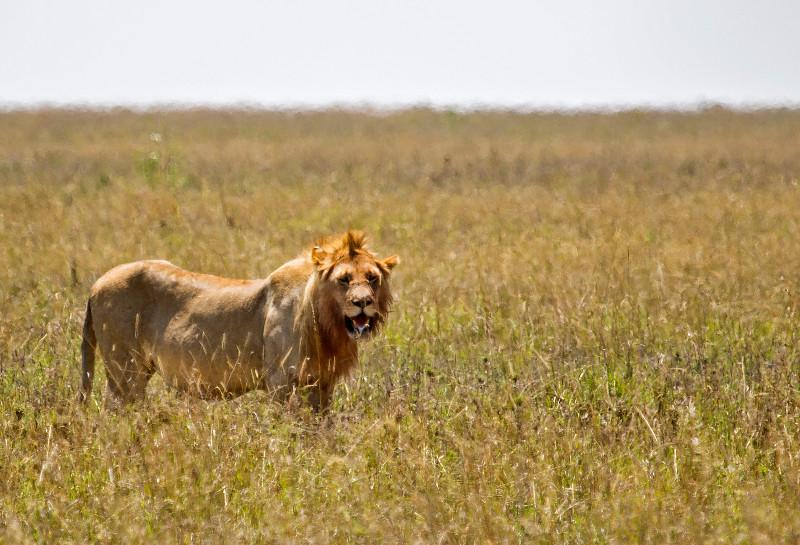 large_Male_Lion_2.jpg