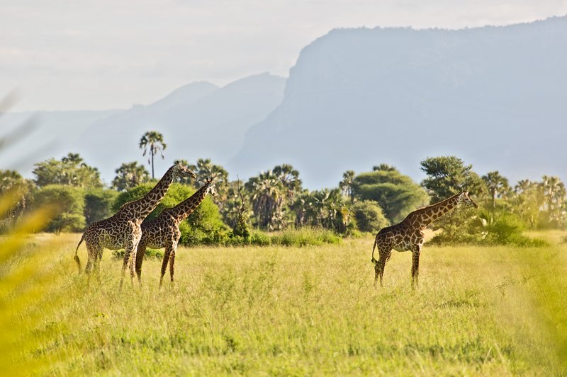 large_Maramboi_-..-_Giraffe_3.jpg