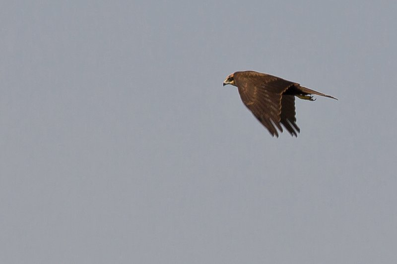 large_Marsh_Harrier_1.jpg