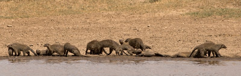 large_Mongoose__Banded_106.jpg