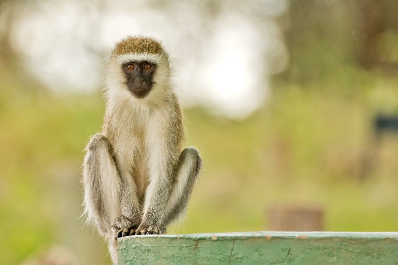 large_Monkey__Bl..nic_Site__3.jpg