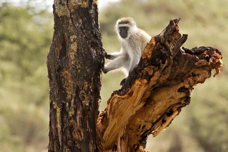 large_Monkeys__B..ed_Vervet_2.jpg