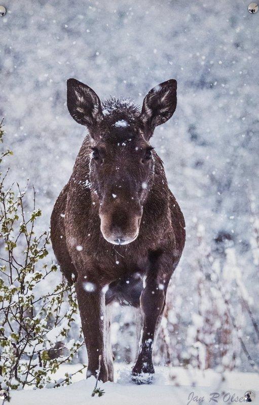 large_Moose_-_Ph.._Ferry_Caf_.jpg