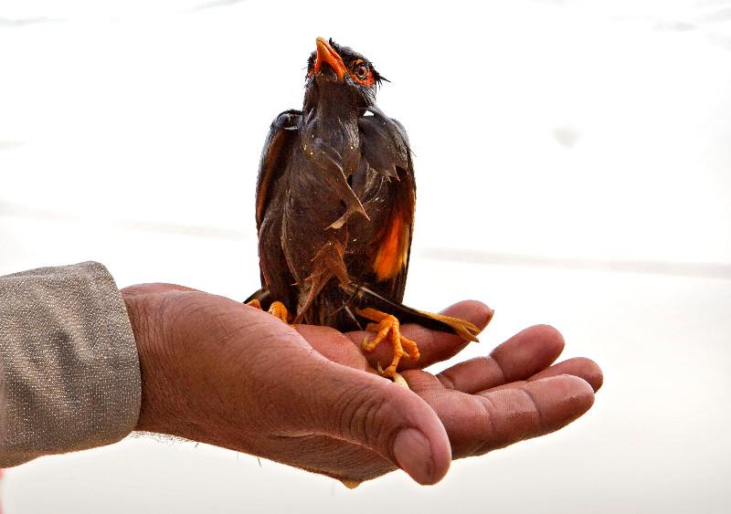 large_Myna_Bird_2.jpg
