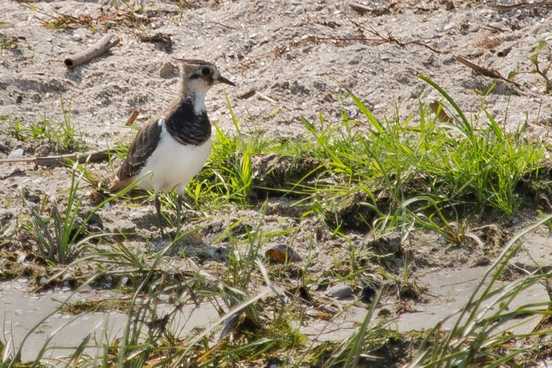 large_Northern_Lapwing_3.jpg