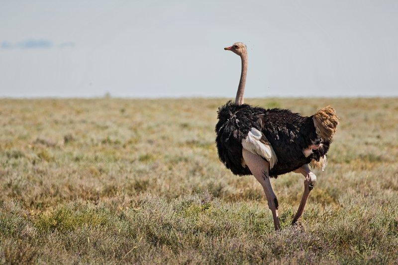 large_Ostrich_32.jpg