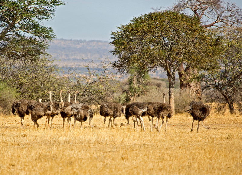 large_Ostriches_1.jpg