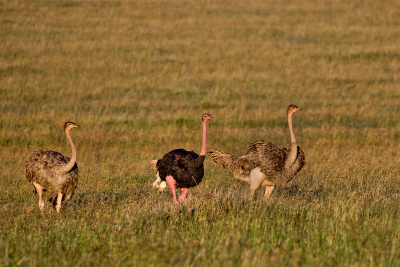 large_Ostriches_22.jpg