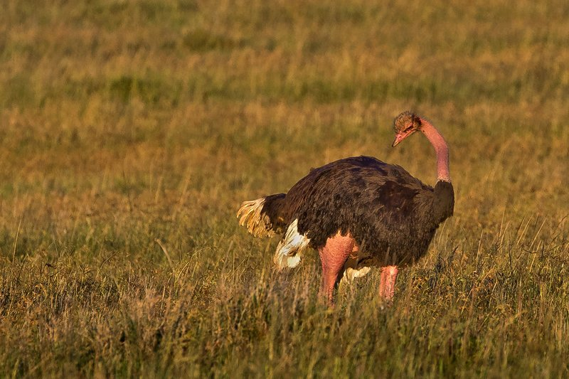 large_Ostriches_23.jpg