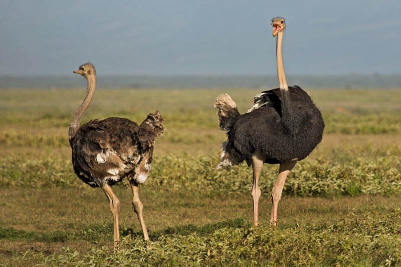 large_Ostriches_7-11.jpg