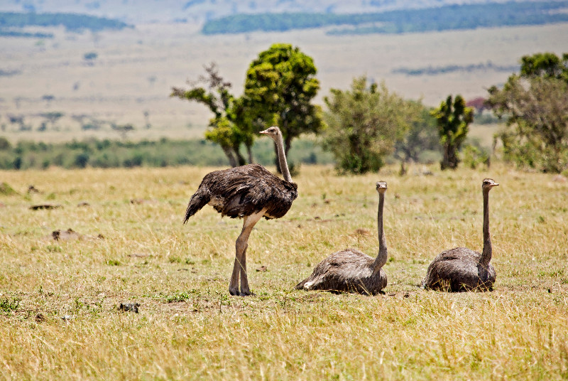 large_Ostriches_71.jpg