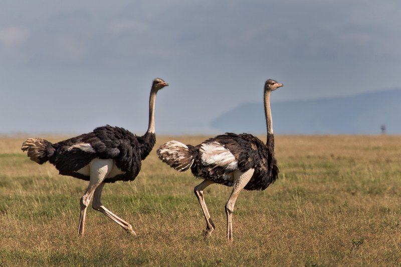 large_Ostriches_9-2.jpg