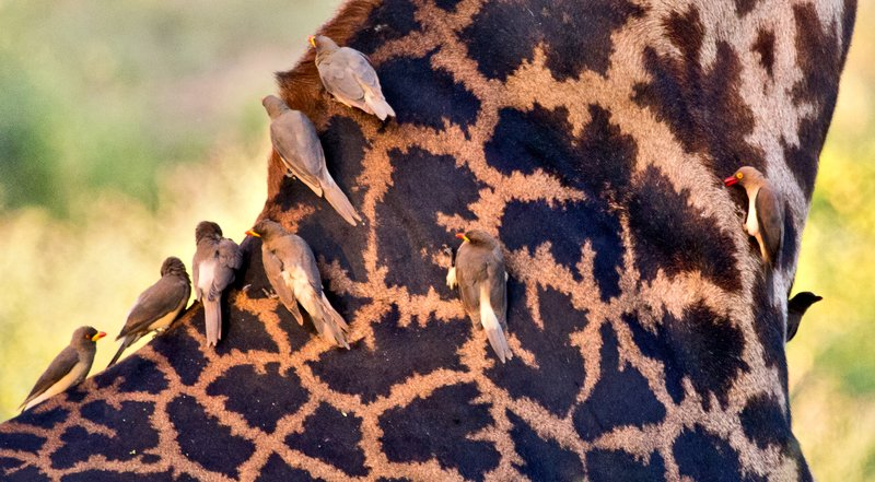 large_Oxpeckers_.._Billed_5-1.jpg