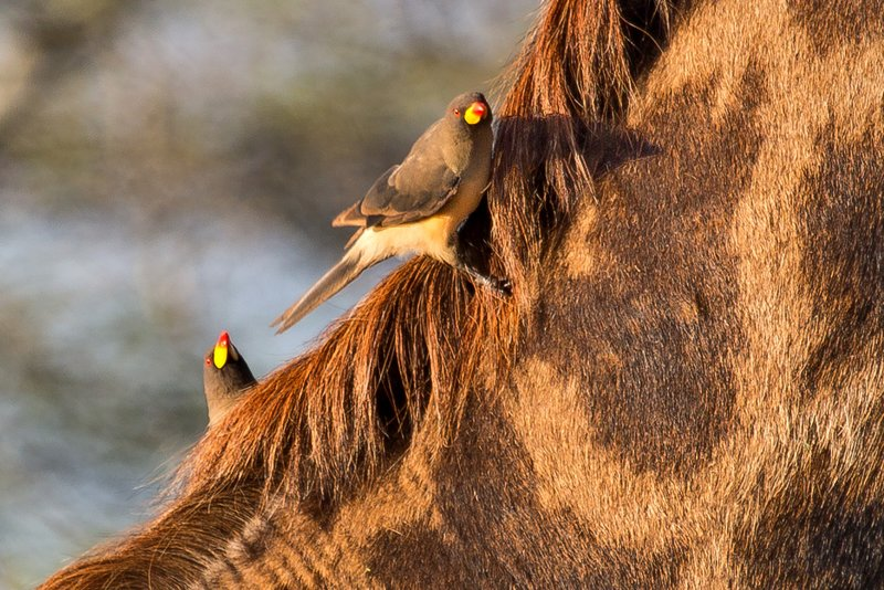 large_Oxpeckers_.._Billed_9-2.jpg