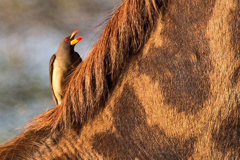 large_Oxpeckers_.._Billed_9-5.jpg