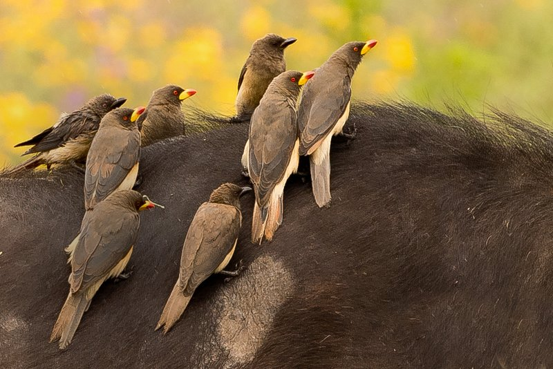large_Oxpeckers_..ow_Billed_4.jpg