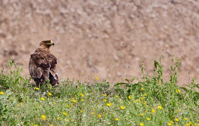 large_Pale_Tawny_Eagle_2.jpg