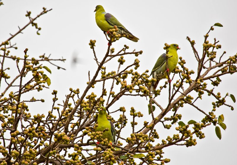 large_Parrots__A..n_Green_5-4.jpg