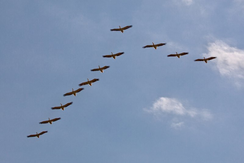 large_Pelicans_Flying_2.jpg