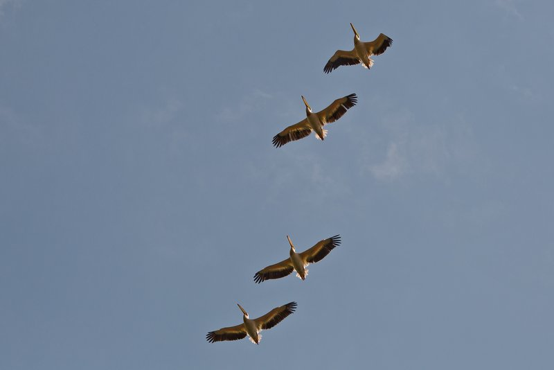 large_Pelicans_Flying_3.jpg